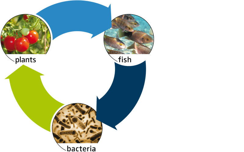Aquaponik-Kreislauf