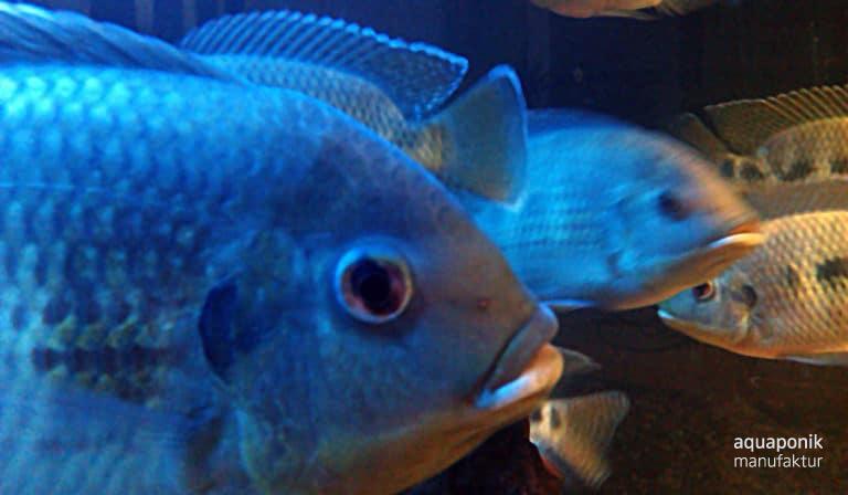 Tilapia mariae, verbreiteter Fisch in der Aquaponik