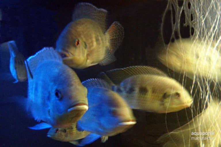 Tilapia mariae, ein beliebter Aquaponik-Fisch